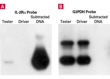 Southern blot analysis showing enrichment of a gene activated in human Jurkat T-cells by PHA/PMA treatment, and reduction of an abundant housekeeping gene in subtracted cDNA