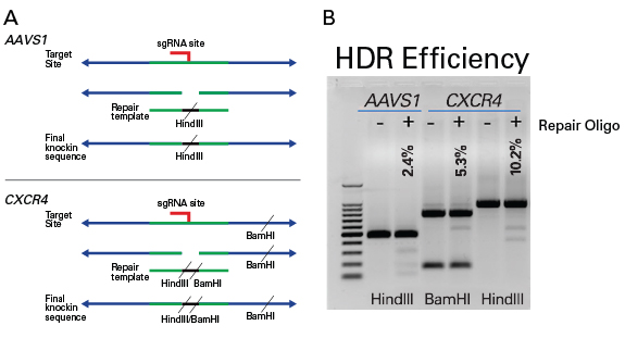 Homology-directed repair at the AAVS1 or CXCR4 genes